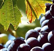 Le vigne Rosso Conero