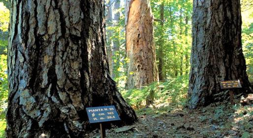 La foresta dei giganti