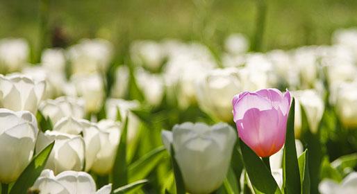 Mister Tulip