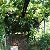 Il Grappolo Anacapri