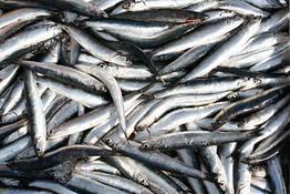 Redação Positano.com - Le giornate del pesce azzurro
