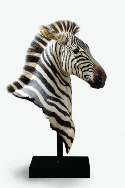 Strips, Zebra bust