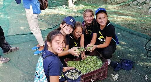 Anacapri, è tempo di raccolta delle olive: ci sono anche gli studenti