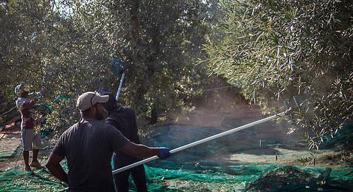 Raccolta olive 2020 su il Mattino