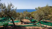 Raccolta olive 2020 su la Repubblica
