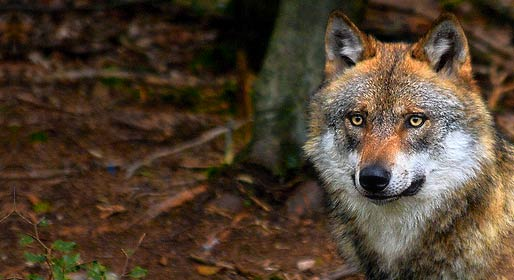 Nella terra dei lupi