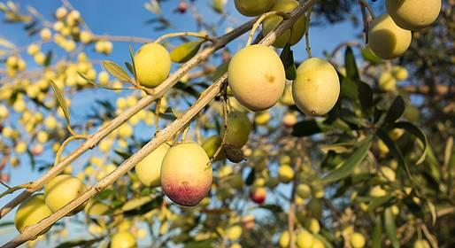 L'Olivicoltura campana: sostenibilità, sistemi territoriali e qualità